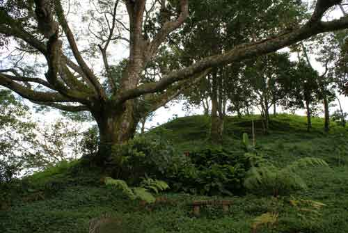 ancient guanacaste tree
