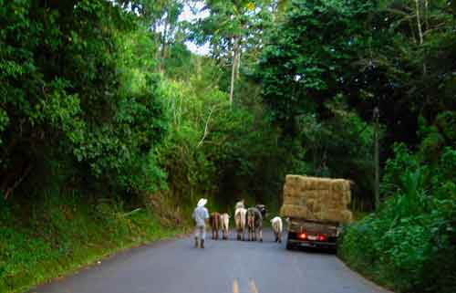 Cattle on a mountain road