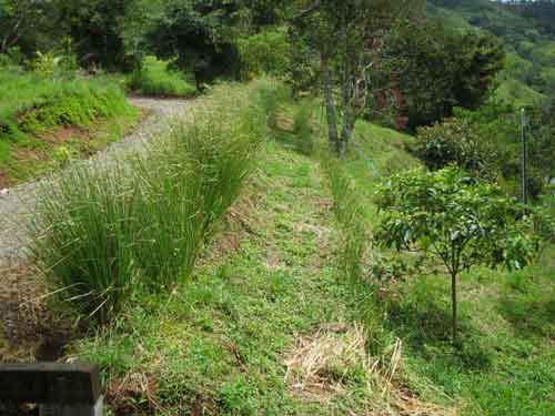 slope stabilisation with Vetiver Zaizonides
